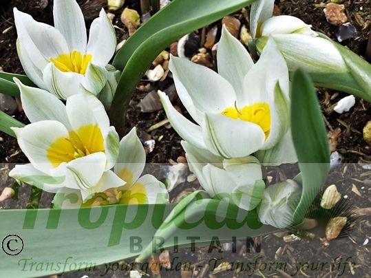 Tulipa polychroma