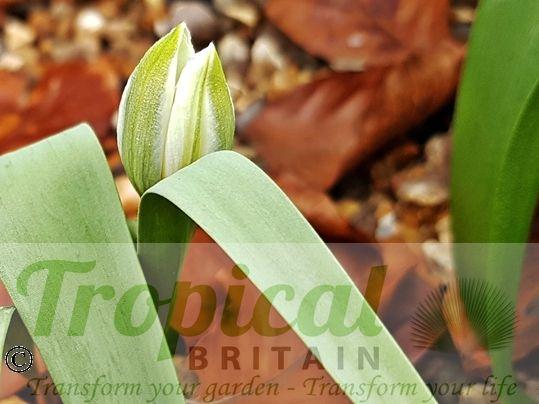 Tulipa polychroma - bloom before opening