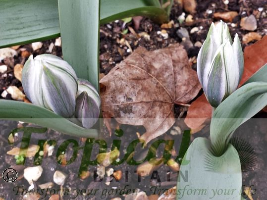 Tulipa polychroma - colouring on outer petals