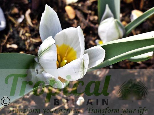 Tulipa polychroma - bloom just opening