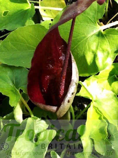 Typhonium roxburghii