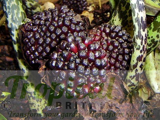 Typhonium venosum - seedpods