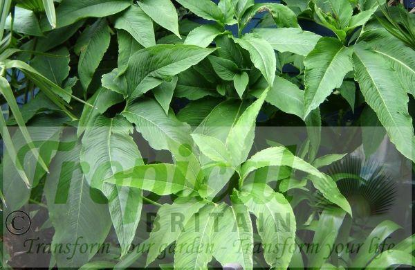 Typhonium venosum - foliage