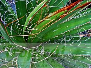 Agave filifera