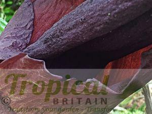 Amorphophallus konjak