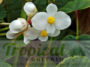 Begonia grandis 'Simsii'