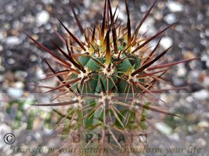 Echinopsis deserticola