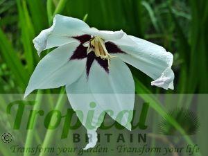 Gladiolus mureliae