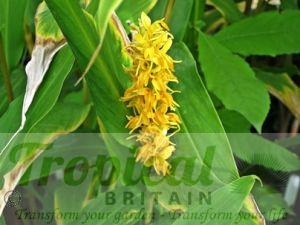 Hedychium densiflorum