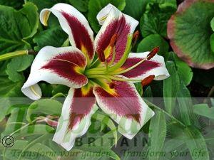 Lilium 'Miss Lily'