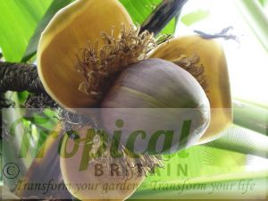 Musa basjoo inflorescence
