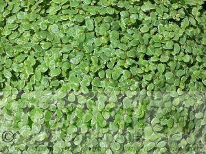 Soleirolia soleirolii 'Alba'