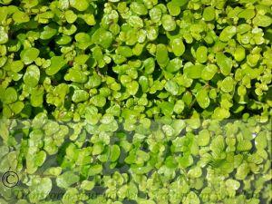 Soleirolia soleirolii 'Aurea'