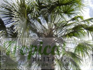 Trachycarpus fortunei foliage