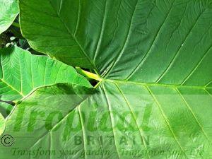 Xanthosoma saggittifolium