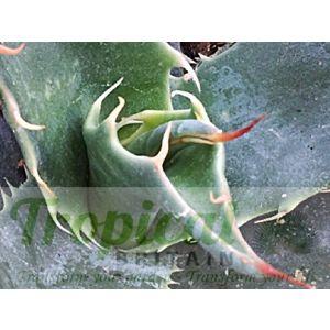 Agave deserti ssp simplex