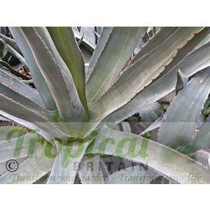 Agave palmeri