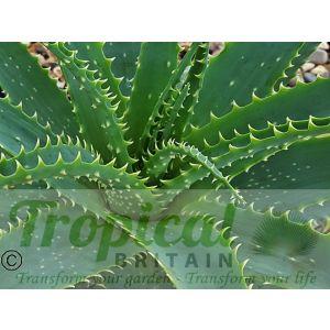Aloe x spinosissma