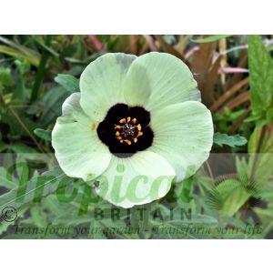 Hibiscus trionum seeds