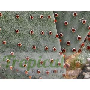 Opuntia basilaris