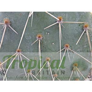 Opuntia sandiana
