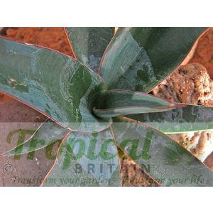 Yucca torreyi