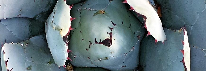 Agave parryi ssp parryi